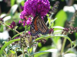 Monarch Butterfly at Epcot by Dream-finder
