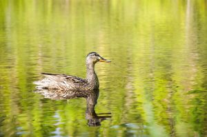 Duck on the Water by ZuzkaSlaninka