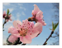 Blooming apricot by leilani-m