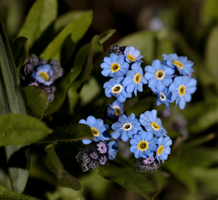 Forget-me-not 1 by bmh1