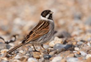 Confused- Reed Bunting - Male by Jamie-MacArthur
