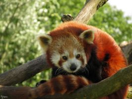 Red Panda in the Heat by Mouselemur