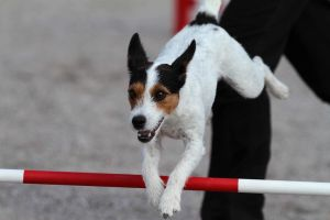 Agility: Parson Russel Terrier II by furbyprince