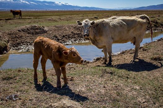 Newborn Calf with its Mother by artisticimposter