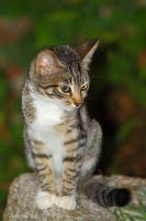 Striped cat by Jorapache