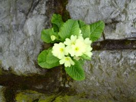 Primula vulgaris growing from the wall closer view by Dreamer-In-Shadows