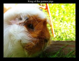 King of the Guinea pigs by buttervlieg