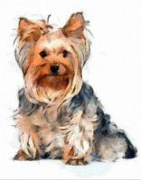 Yorkshire Terrier by DonsDigitalCreations