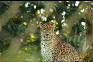 Sri Lankan leopard by Just-the-way-Im-not