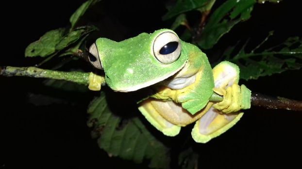 Wallace's flying frog by AnotherRaven