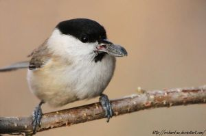 Black-capped Chickadee by RichardConstantinoff