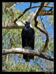 Proud Magpie by DarthIndy