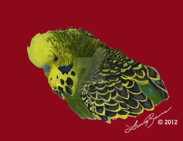 Cassius the English Budgie by PsychoticParakeet