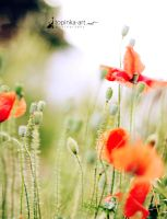 red poppy III by topinka