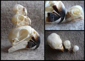 Parrot Skull Comparison by CabinetCuriosities