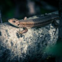 The lovely lizard by Akxiv