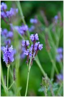 Lavender by tspargo-photography