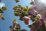 Cherry blossoms by IchthysProductions