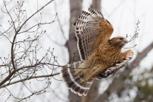 Red Shouldered Hawk Take Off by bovey-photo