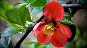 Chaenomeles japonica (2) by Paul774