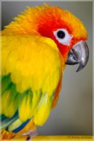 Sun Conure: Max I by BlendedPaths
