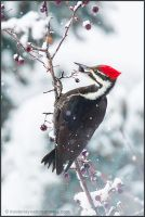 Pileated Woodpecker by kootenayphotos