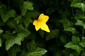 One Yellow Ivy by djpomar