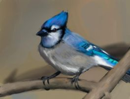 Bluejay study by Laura-GT