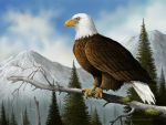The Proud- Bald Eagle by ChuckRondeau