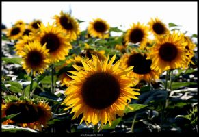 sunflowers in the sun by Kristinaphoto