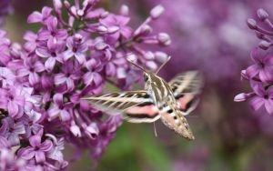White-lined Sphinx Moth by TurquoiseMoon