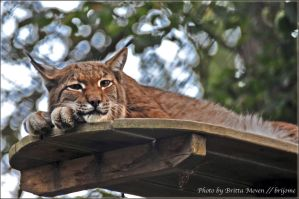 Tired Lynx by brijome
