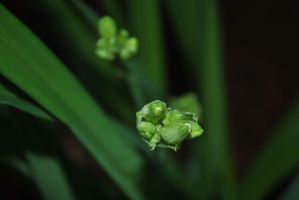 Day Lilly Buds 2 by teresastreasures72