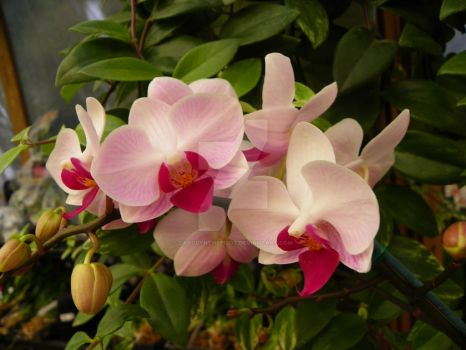 PINK ORCHIDS by carolynthepilot