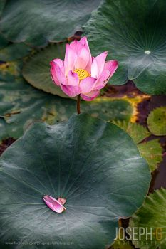 Lotus Flower by josgoh