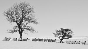 Sheep in the Snow4 by younghappy