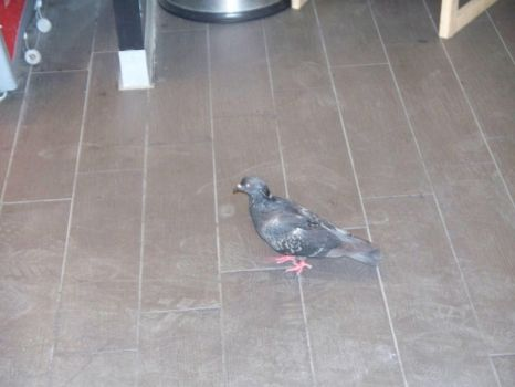 pigeon in a bar by onnipotente