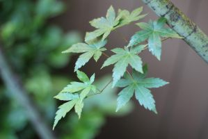 Lush Maples by AtomicBrownie