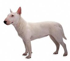 Miniature Bull Terrier by englishmissie