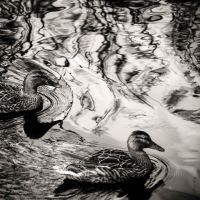 Duck Pond Talks by tholang