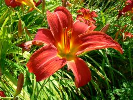 Red Lily by Azagh