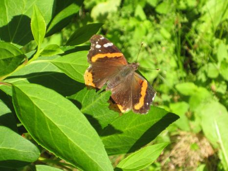 Orange Brown Butterfly stock by mousiestock