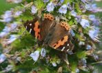 Indian Red Admiral by Phoenix-Flyer
