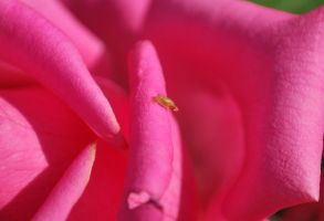 worm on rose by Solct