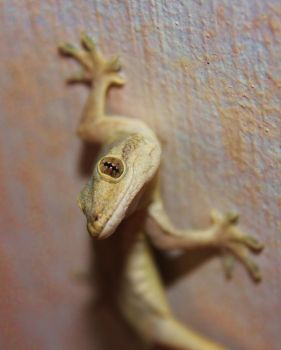 Gecko 2 by Sir-Rich