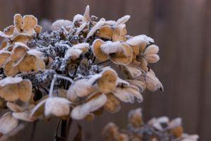 Frosty Hydrangea 2 by BlindedVisions