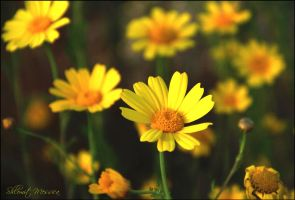Yellow daisies by ShlomitMessica