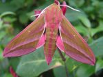 Elephant Hawk Moth by AndyRidae