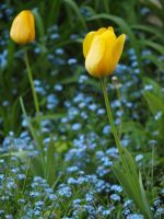Tulips and Forget-Me-Nots 02 by botanystock