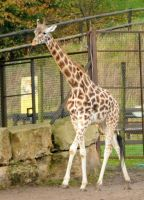 Rothschild Giraffe Stock 2 by LRG-Photography